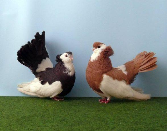 2066ba2f4876948c89ef1998795f4ec0--fantail-pigeon-beautiful