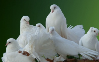 beautiful-white-pigeon-birds-hd-wallpapers