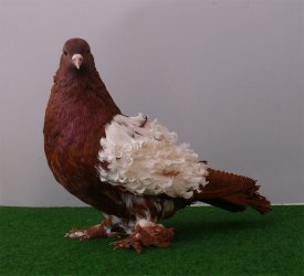 frillback_pigeon_by_purzli-d3gdvdw