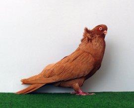 komarom_pigeon_by_purzli-d3h3np0