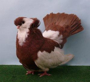 koros_tumbler_pigeon_by_purzli-d3gdsh3